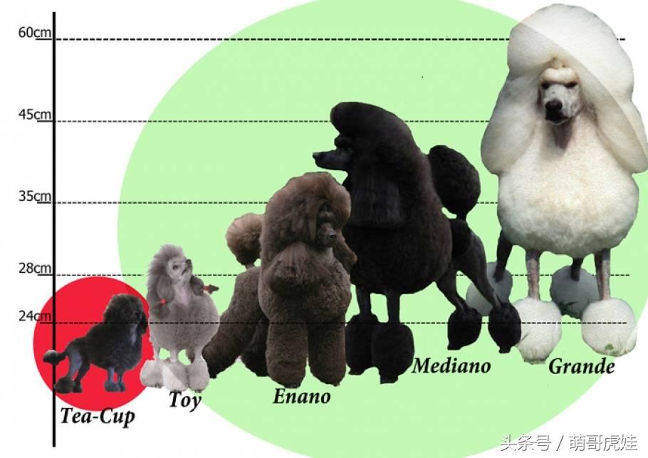 巨型泰迪犬多少钱一只(巨型泰迪犬为什么这么贵)插图(1)