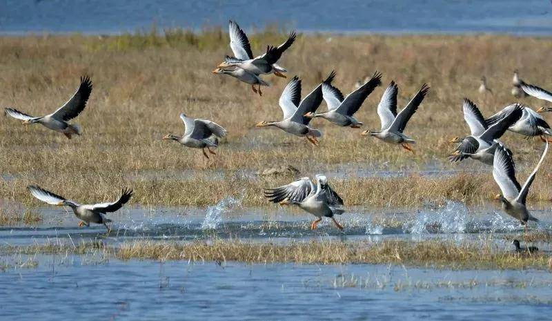 10万候鸟来威宁草海过冬,这些鸟儿你见过
