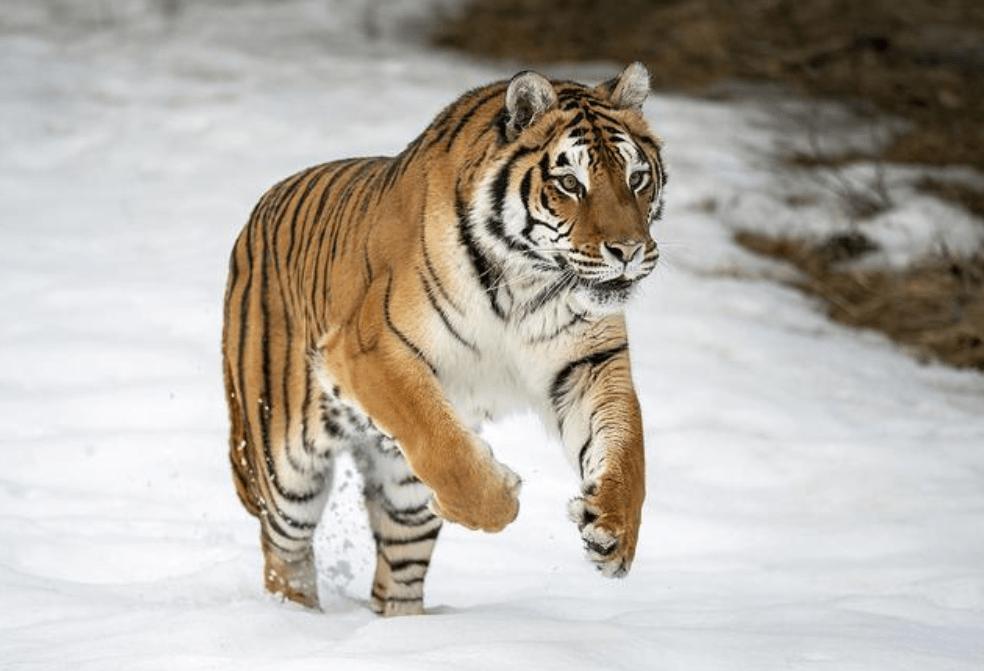 罕见!黑龙江发现野生东北虎脚印,网友:可惜野生华南虎灭绝了