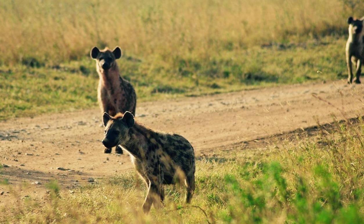 动物世界狮子杀鬣狗 动物世界狮子大战鬣狗群