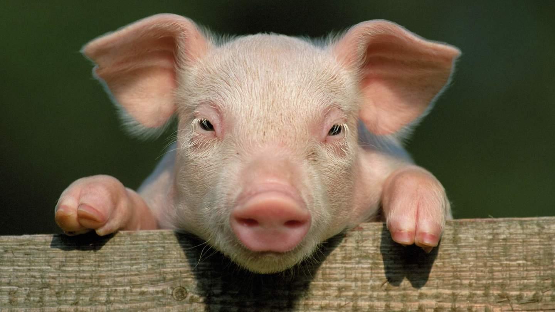 """原创""""养猪""""正成为大科技公司的新战场"""