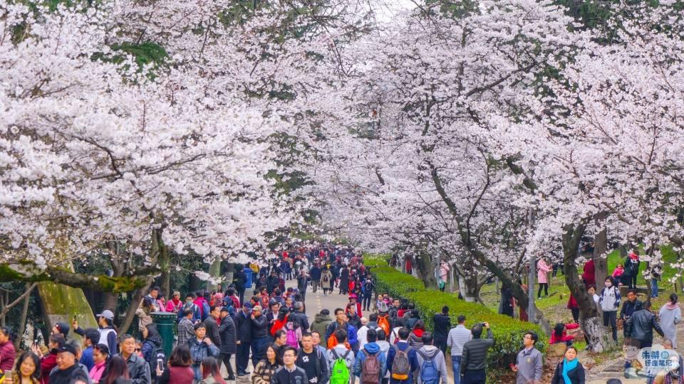 原创             遗憾错过一年花期的武大樱花,今年早早盛开,准备好去赏樱了吗