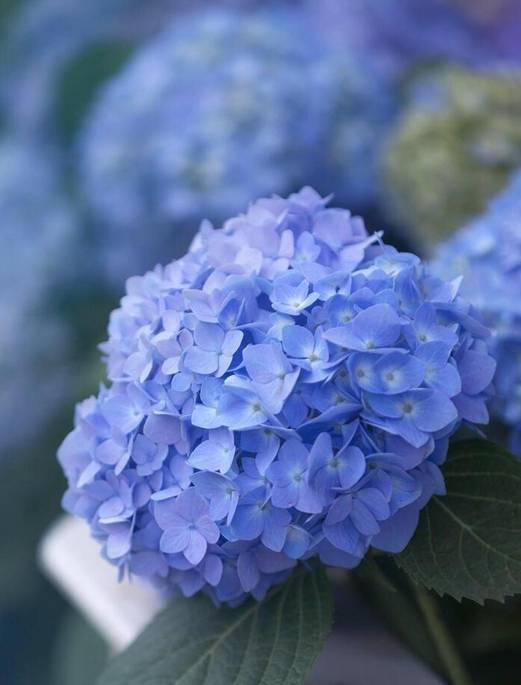 原创             蓝妖:绣球花怎么调色