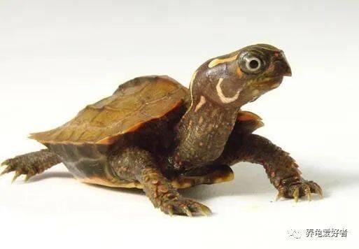怎么养龟,怎么才华养亚虎平台好龟,这些问题你有答案