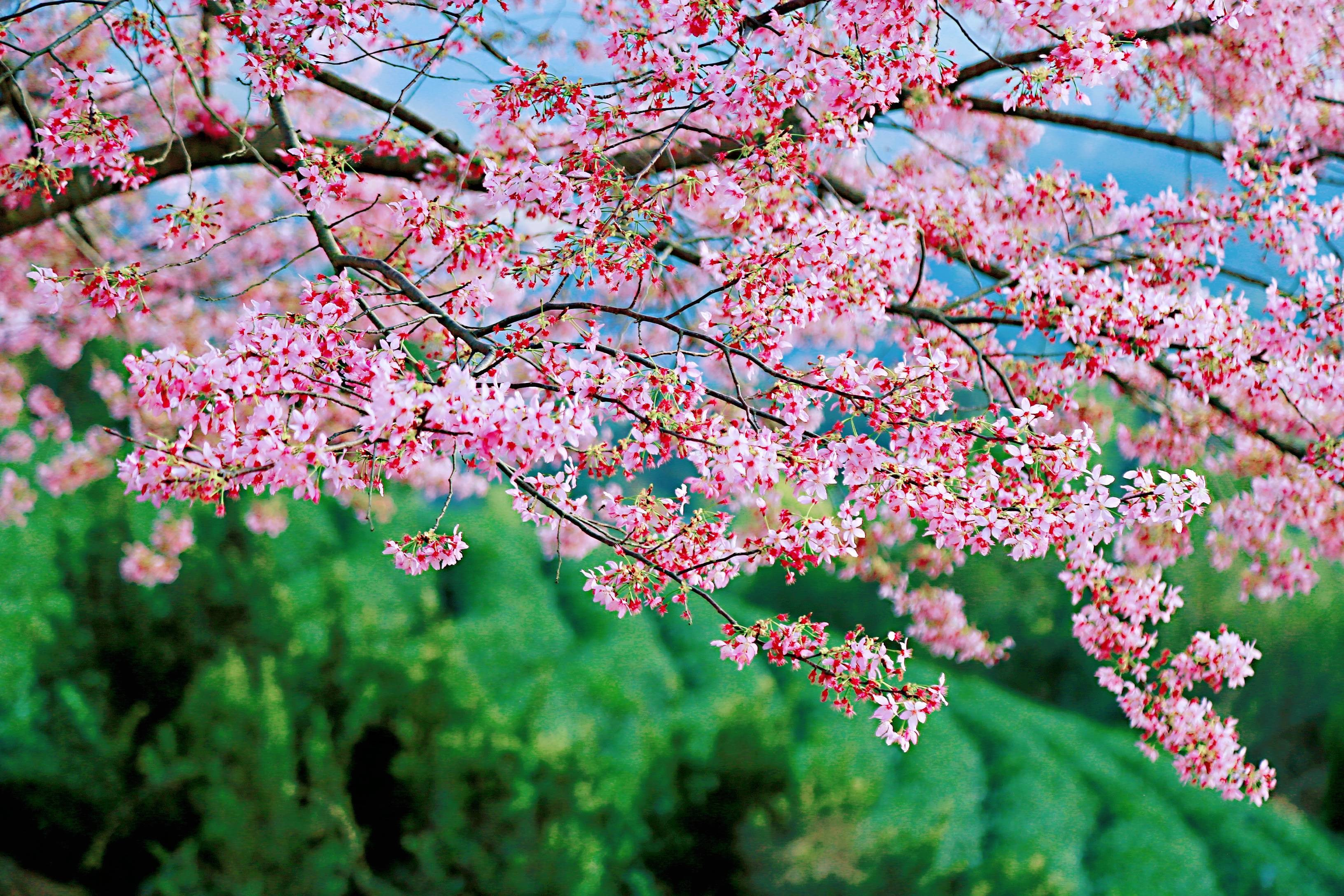 38214ce8ac9546c29d1f4305be7292c3 - A guide to viewing cherry blossoms in Fujian, China's most beautiful cherry blossom sacred land, Alishan on the mainland_台品- Sohu