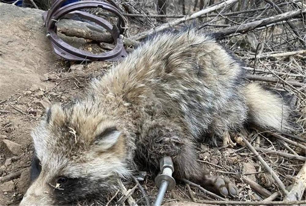 密云水库发现一只野生貉子,觅食被钢丝扣住前腿,幸好及时获救