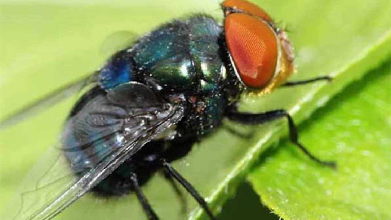 梦见我抓了一只大苍蝇 梦见自己害了一只大苍蝇