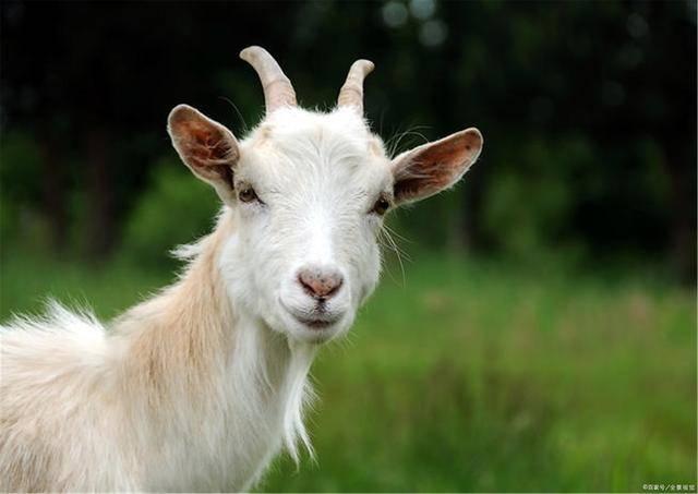 属羊人:79年42岁生肖羊与父母!