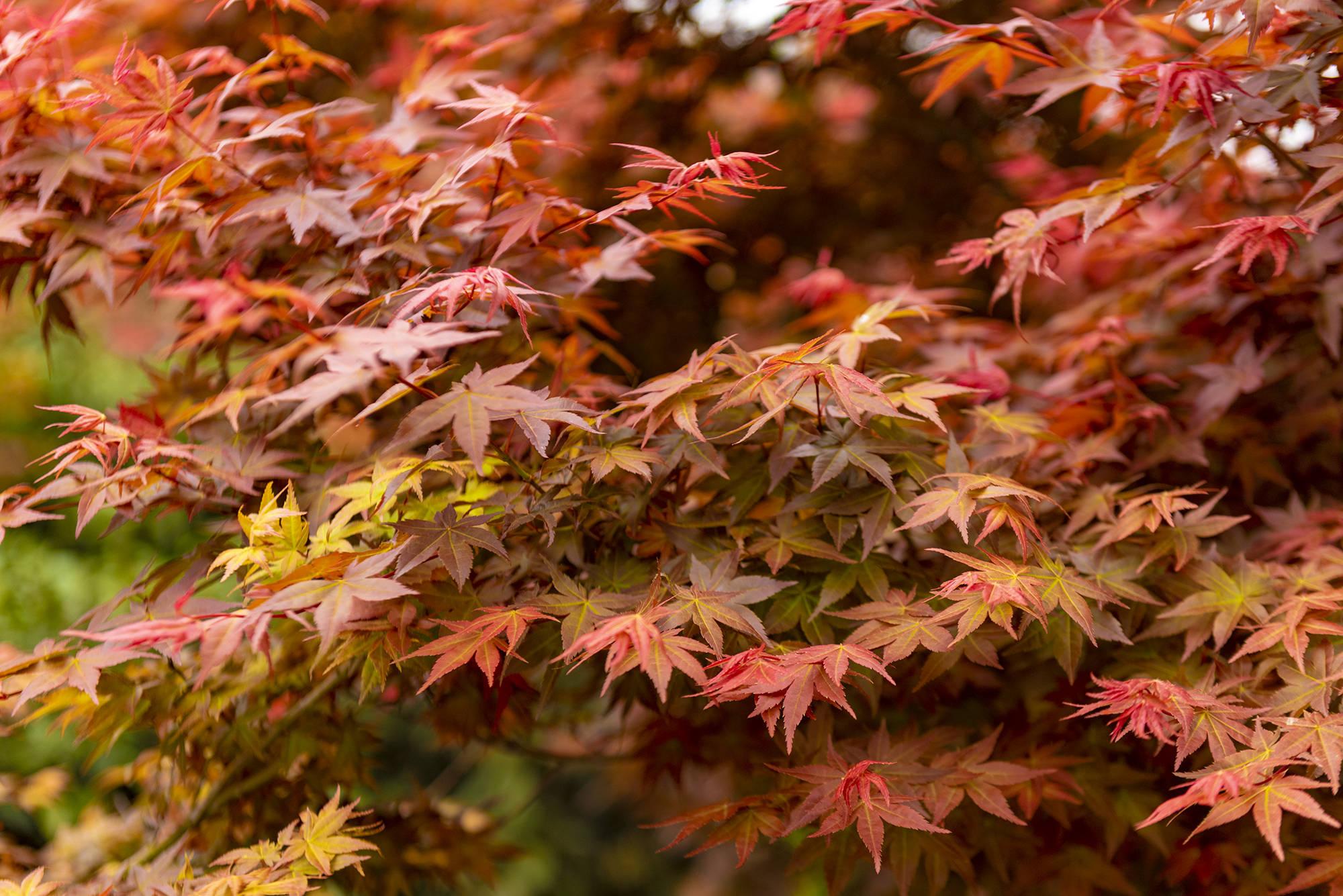 奇!广东小县城漫山遍野红似火,枫叶竟在春天变红,正是观赏季节