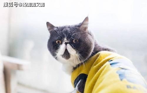 【养宠小知识】加菲猫的下巴尖不长肉,加菲猫