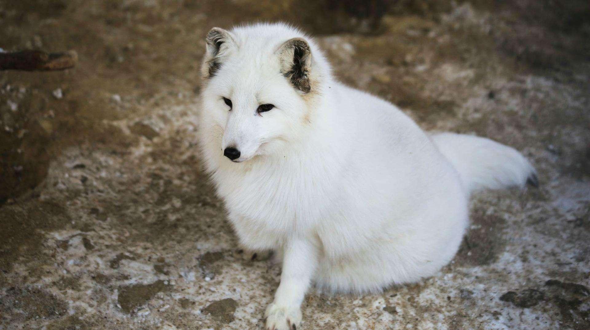 梦见白狐狸是什么意思 梦见狐狸精是人形
