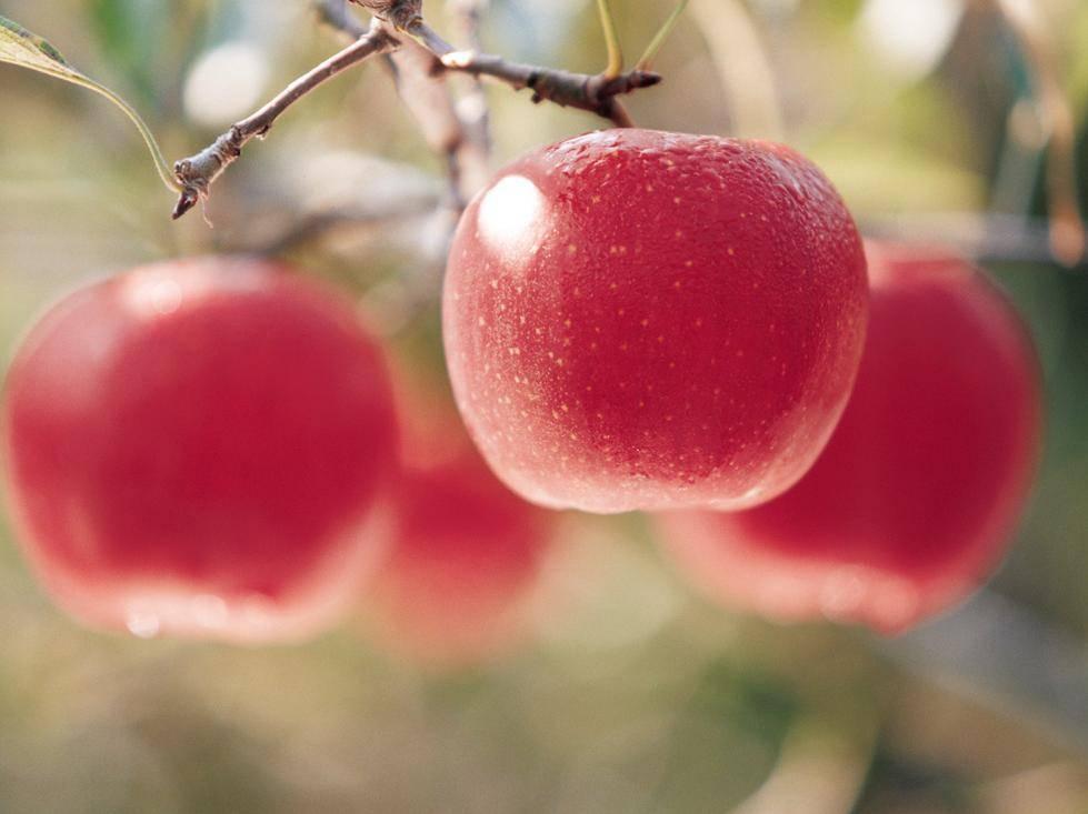 心理测试:口渴时你会摘哪个苹果吃?测你最近有什么好事要来了  第1张