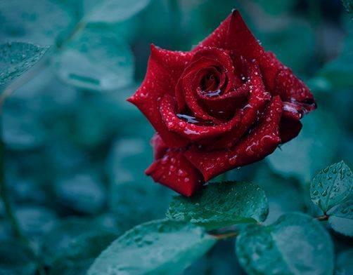 心理测试:哪朵玫瑰比较好看?秒测谁会对你不离不弃?