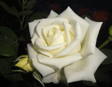 心理测试:四朵玫瑰花,哪朵最妖媚?秒测谁会对你不离不弃?  第2张