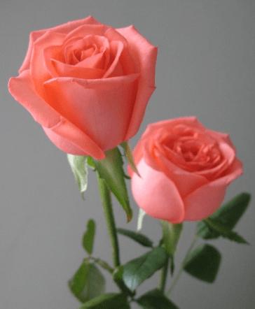 心理测试:四朵玫瑰花,哪朵最妖媚?秒测谁会对你不离不弃?