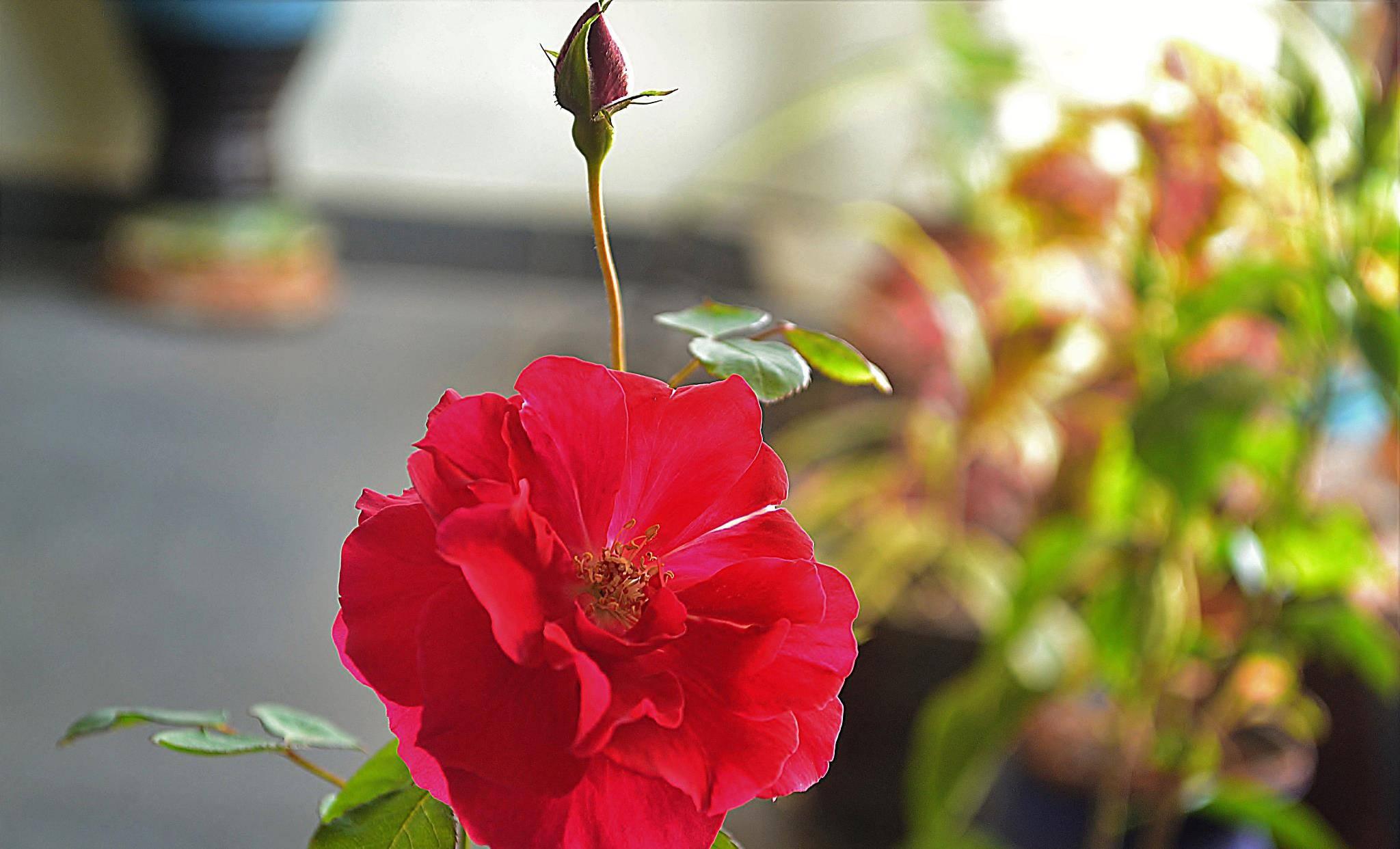 这些花都不适合种在封闭阳台,别被漂亮图片忽悠了,越养越后悔