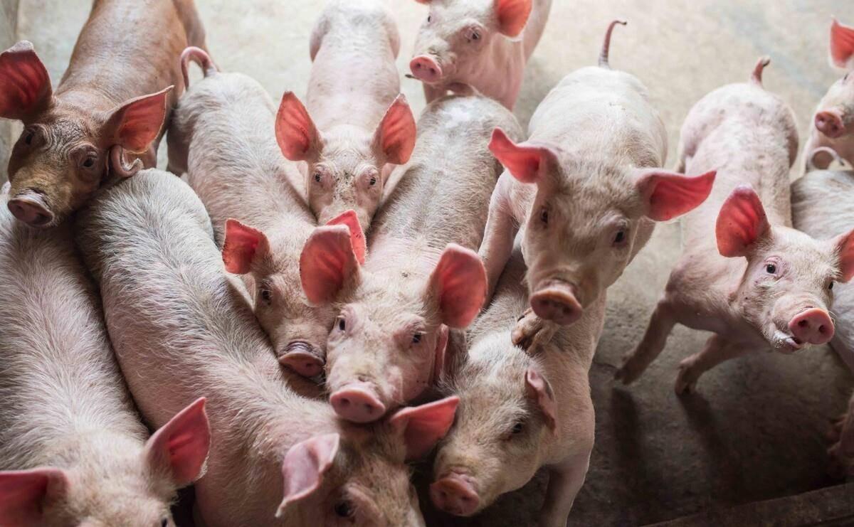 7月23日-明天猪价,各地飘红,价格上涨!未来两天最新猪价