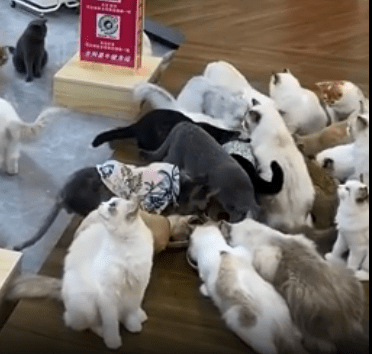 貓咪選手積極備戰,即便是在乾飯期間,也毫不鬆懈地鍛鍊