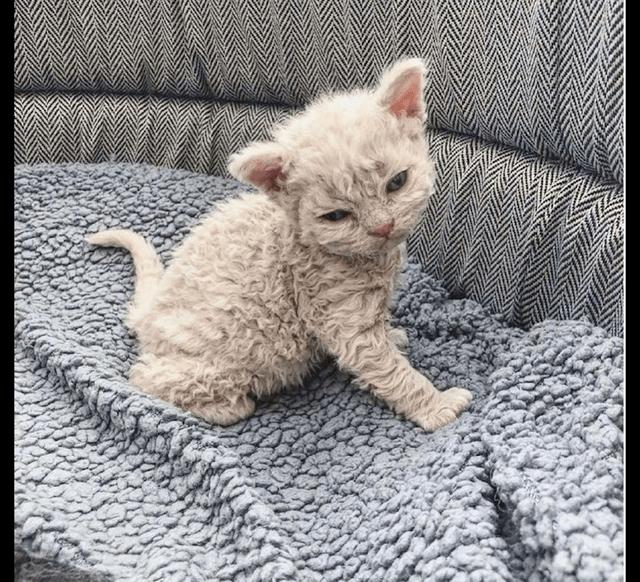 猫咪天生就是卷毛,看起来像是玩具,猫:为什么羊毛长在我身上?