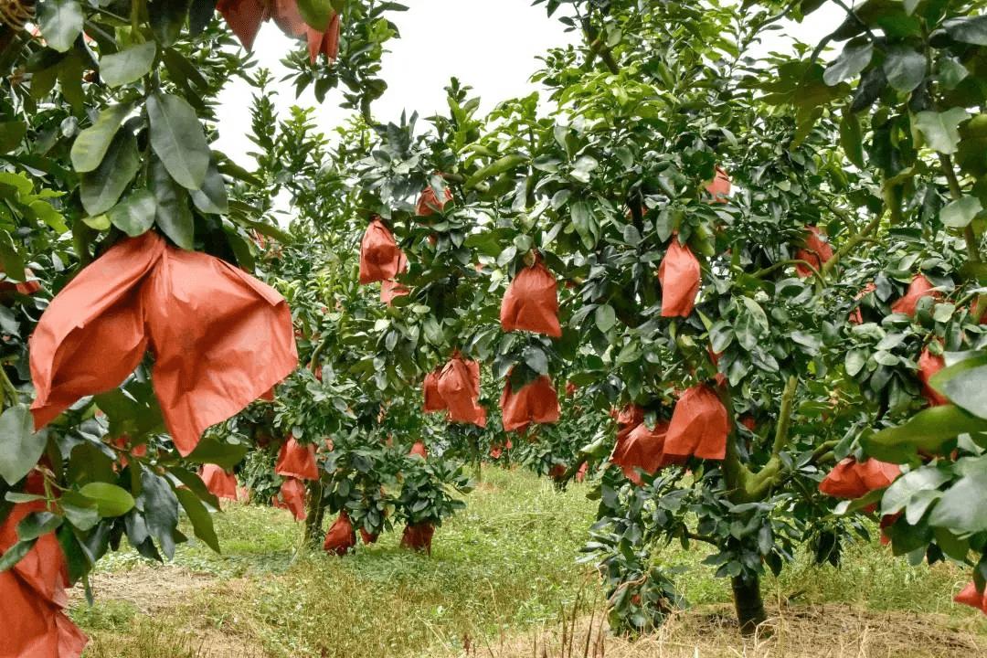 辰颐物语:三红蜜柚丨柚子,熟啦!甜蜜这个秋—琯溪贡品