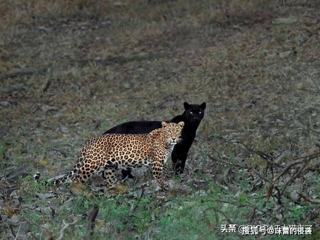 罕见!花豹和黑豹野外同框,摄影师蹲守6天才拍到_米森