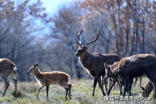 神农架生态太好!男子3000米海拔2次偶遇野鹿,相互对视不怕人