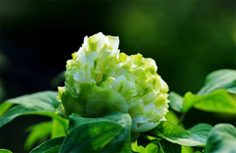 绿牡丹花的寓意和象征:用心付出的爱,即便姗姗来迟也值得珍惜