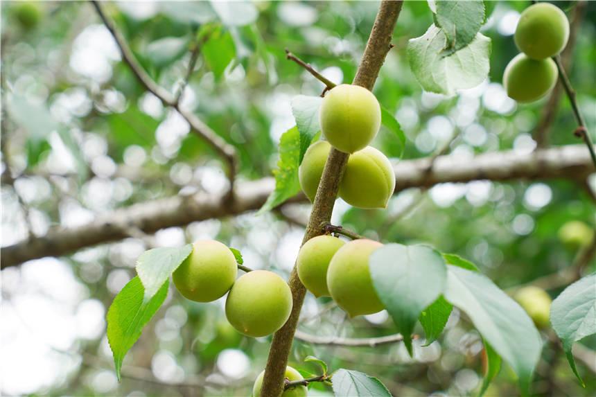 原创             广东粤东最大的梅园丰收了,上万亩青梅,7毛钱一斤也太实惠了