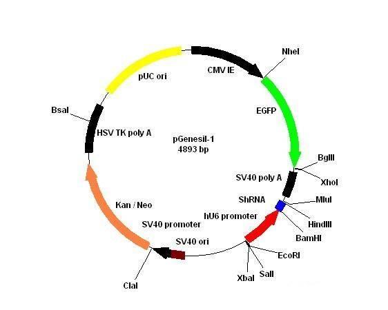 pGenesil-1载体质粒图谱、序列、说明书、价格