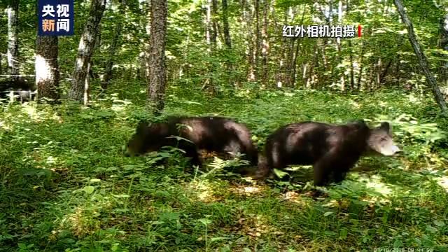 恒达首页小兴安岭首次找到东北虎吃熊珍贵影像证据,现场留有虎的卧迹 (图13)