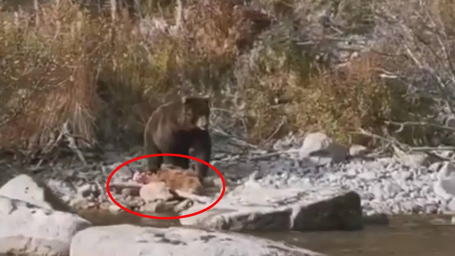 恒达首页俄罗斯一只棕熊被拍到吞食幼崽 专家称系食物短缺所致