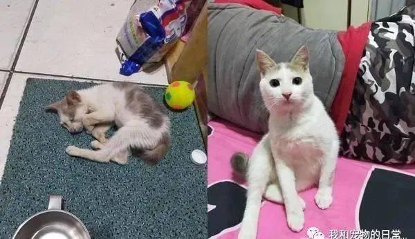 瘦弱猫走不动险被撞,收编3个月后华丽变身判若两猫!