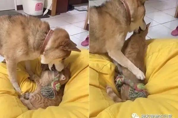 柴犬咬着玩具跑去找橘猫陪玩,结果对方却直接被吓跑!