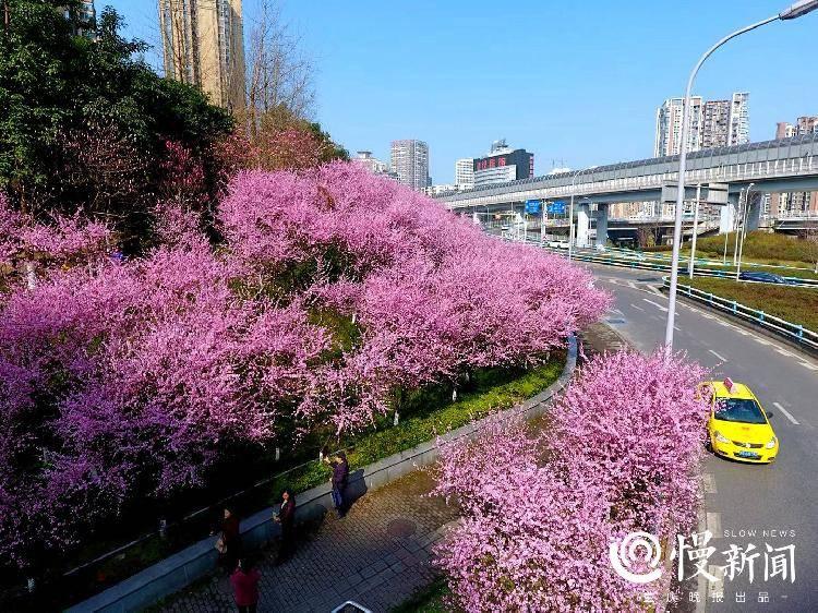 早春赏花中心城区最全地图来了!教你这样区分桃花、樱花、梅花