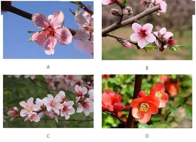 你最喜欢哪一株桃花? 测试你的异性缘