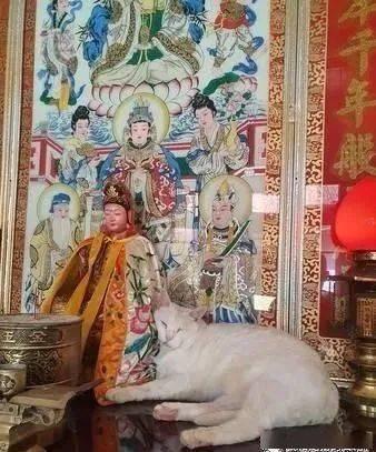 白猫跳到神桌上对神明撒娇,饲主傻眼:塞奶应该要找我啊!