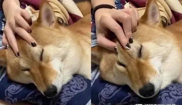 装睡的柴犬是叫不醒的,主人:不要演啦,你心机很重!