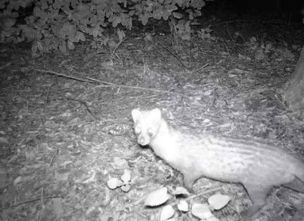 猫的身体,黄鼠狼的头?在上海绝迹近十年,这种国家一级保护动物现身