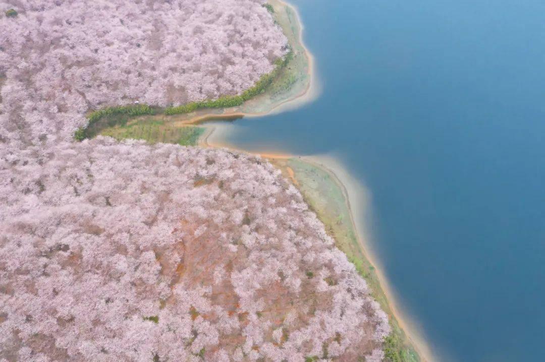 美过日本,不输武汉,全球最大的樱花基地竟在中国,还免费! (图6)