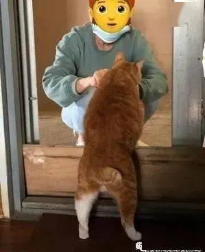 肥橘天天守门前等邻居喂零食,网友:第一眼还以为是柴犬!