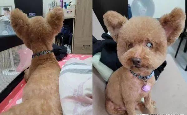 贵宾犬2年前突然从垂耳变立耳,就连医生也很好奇纳闷!