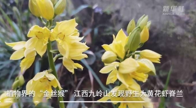 """植物界""""金丝猴"""" !江西九岭山发现野生大黄花虾脊兰"""