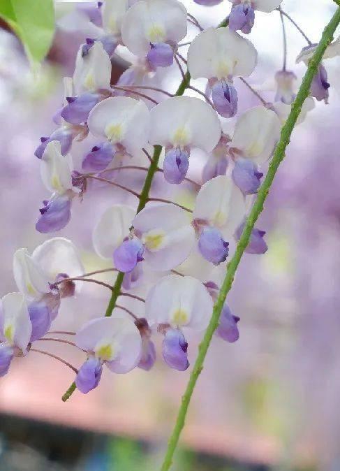 紫色瀑布动人心!成片如云般的紫藤花,你还没去嘉定看吗?
