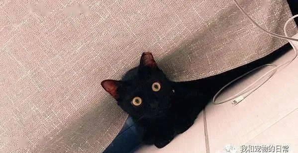 小黑貓领养1年身材出现剧烈变化,网友:说黑色显瘦是骗人的!