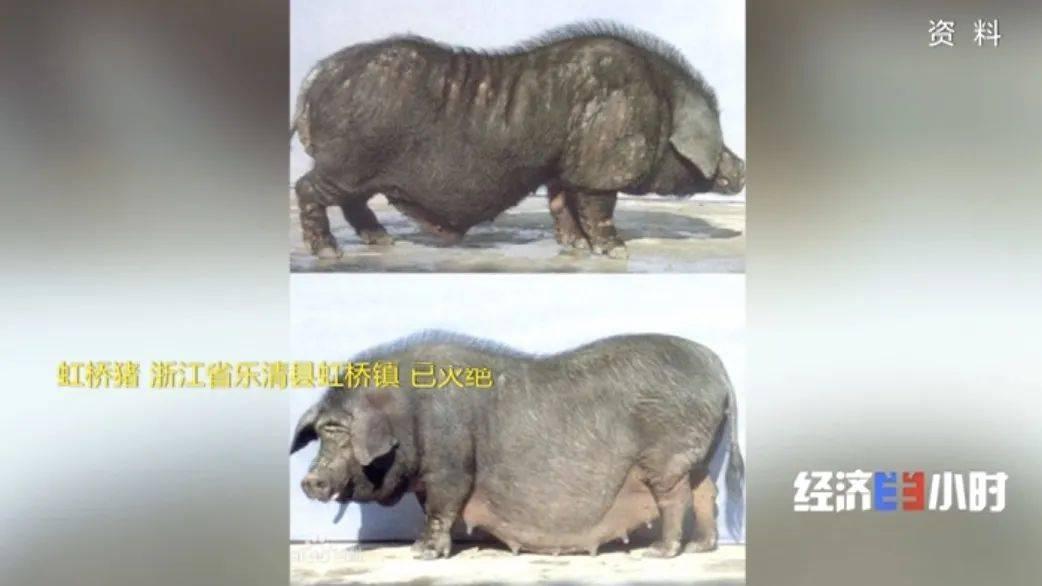 """8个品种本土种猪灭绝!我们餐桌多为""""外来猪""""?!本土""""二师兄""""去哪了?  第7张"""