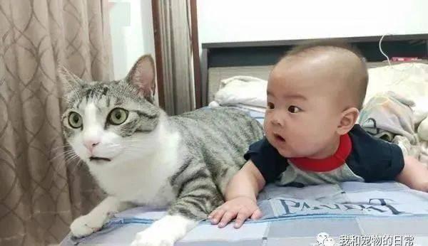 早产婴养白又胖,友人到家里一看直呼:原来你家的猫发育得更好!