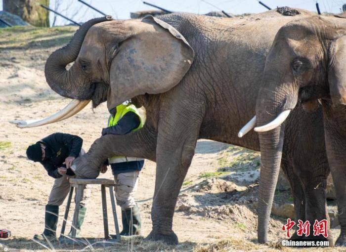 鸿图2注册印度母狮感染新冠死亡后,28头大象接受预防性检测(图1)