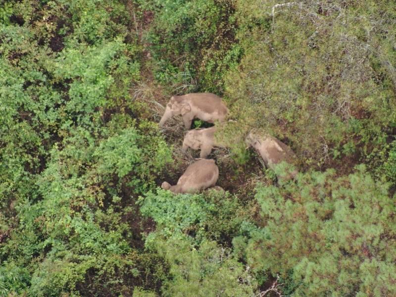 云南野象群转向重回玉溪!专家称公象离群或因种群结构调整