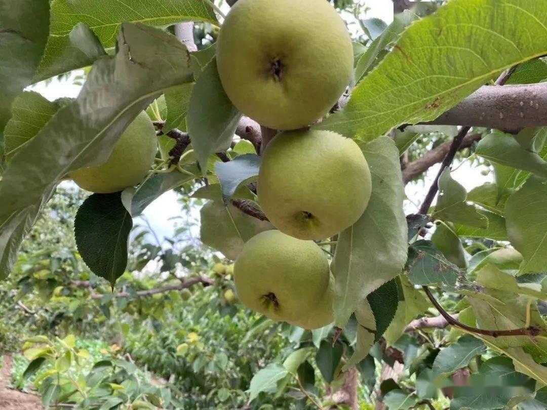 梦见梨树上结了好多梨 梦到梨树上好多梨