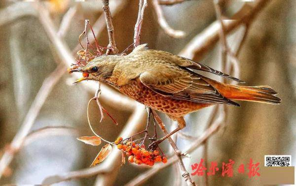 """这种""""冬候鸟""""专程来哈尔滨""""猫冬"""",扎堆太阳岛吃喝玩乐6qj"""